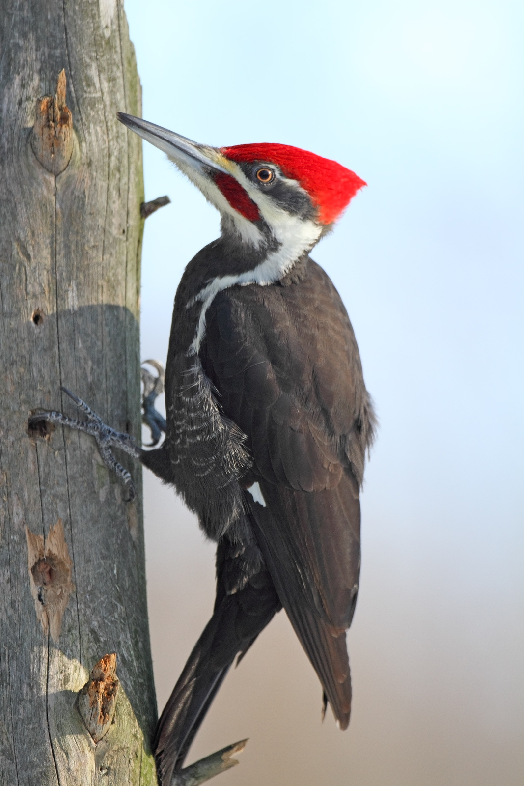 Pileated Woodpecker Drawing Laughing Bird | Thorea...