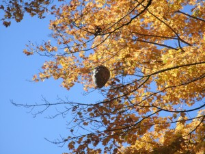 Wasp nest in a maple near the North Bridge