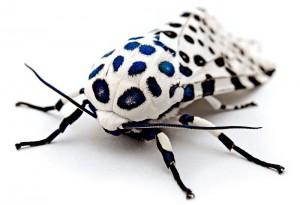 Leopard Moth - Kevin Collins