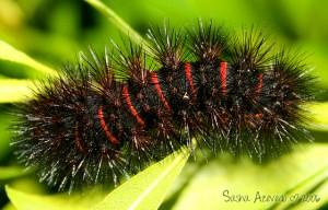 Leopard Moth Caterpillar - Sasha Azevedo