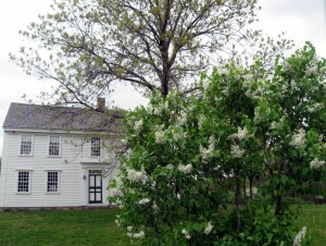 Lilacs at Thoreau Farm