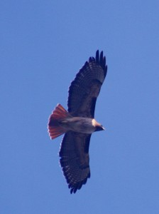 Red-tail: Unharried on High. photo by Brocken