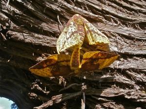 Imperial Moths Mating  Photo by Ashton Nichols