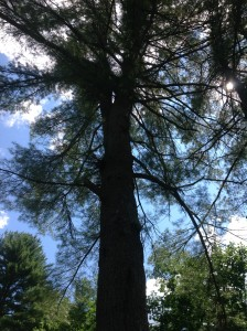 Pine Presence - this one with 2 leaders stayed.