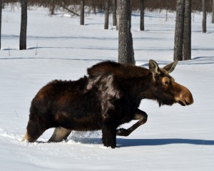 A moose, not the moose, in usual motion.