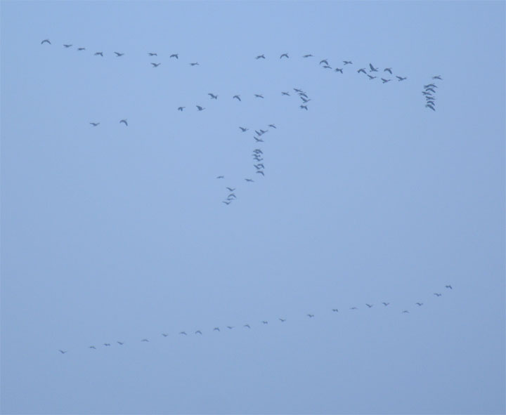 geese1