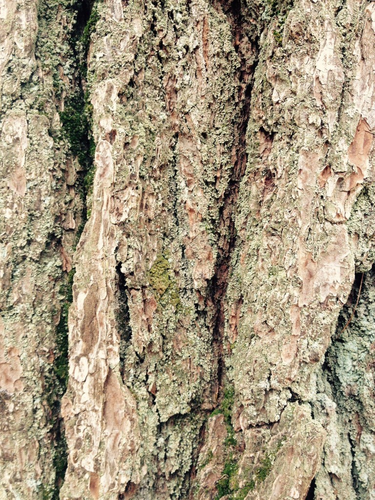 Hands-on bark of favored pine