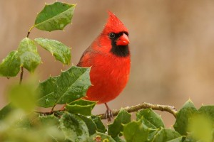 We have a holly, and we have a cardinal, but these are not they. Photo: Bigstock