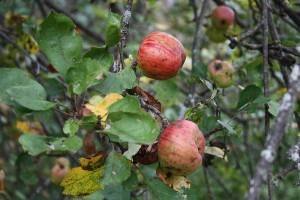 Wild apples Photo: Bigstock