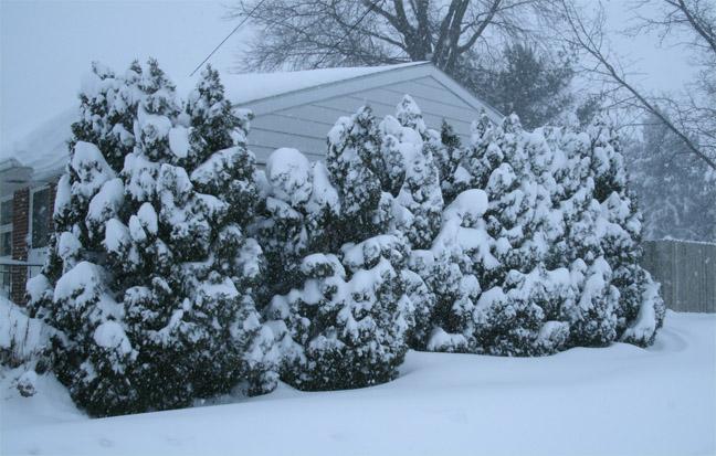 snowyarborvitae