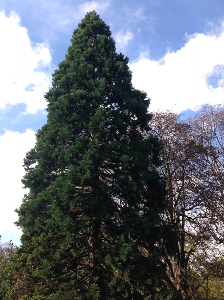 Well, now I'm cheating a bit, but I do visit this sequoia every time I go to the Luxembourg Gardens.