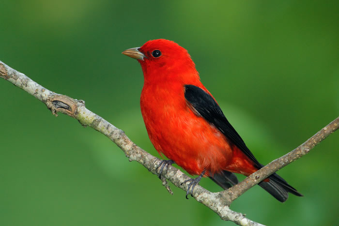Tanager-4