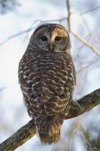 Barred Owl. Photo from http://birdgenie.com/project/barred-owl/.