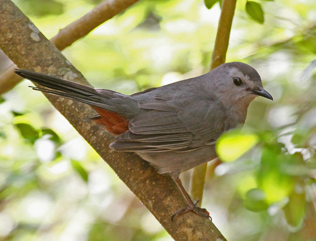 gray-catbird-by-jerry-oldenettel-cc