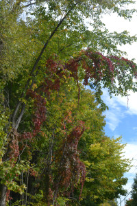 Virginia creeper on a tree in the Quebec countryside.