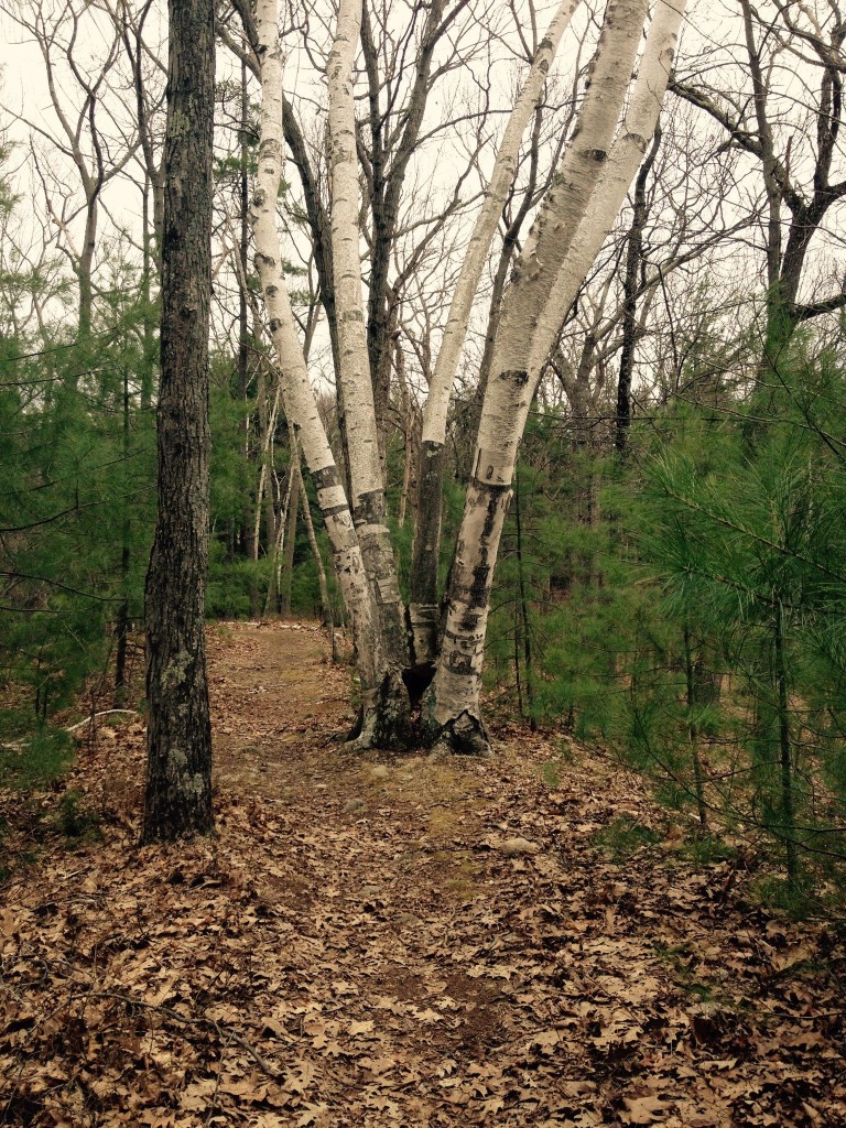 5-stalk birch on Heywood's Peak