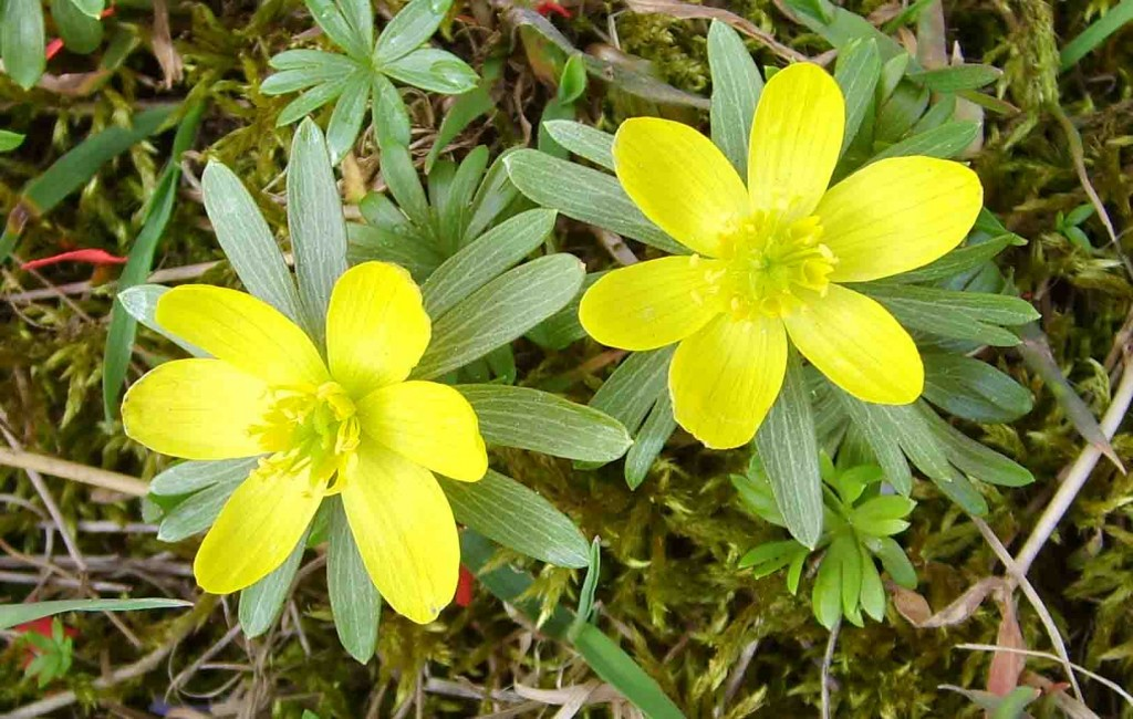 Winter-Aconite: Courtesy www.plant-and-flower-guide.com