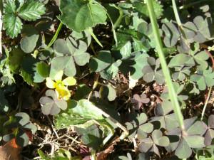 A new flower - oxalis creeper