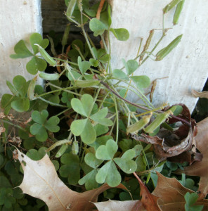 The usual wood sorrel, without flower at this time of year