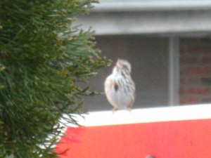 Sparrow sings