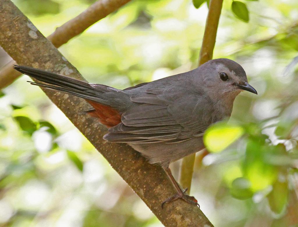 gray-catbird-by-jerry-oldenettel-cc