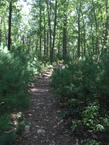Trail through the oak and pine forest of Beargarden.
