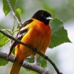 ...the fiery hangbird