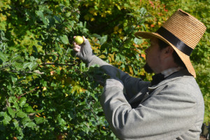 Our own Henry Thoreau, historical interpreter Richard Smith, picking a roadside treat.