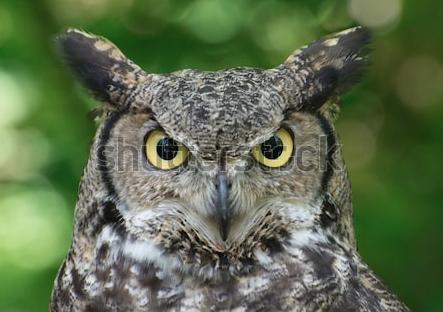 Of Owls and the Man | Thoreau Farm